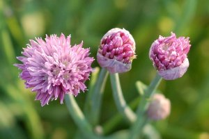 purple chive2